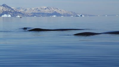bowhead whales resting after dive,preparing to go north to canada and alaska