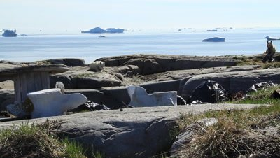 sledge dogs resting,spines from the blue whale,drifting glacial ice
