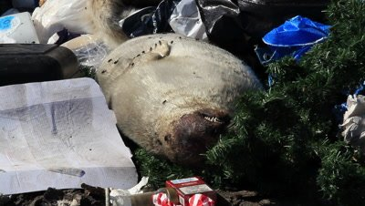 seal on the dumpster,huntet and killed for no reason,fur kan not be sold,and the meat not used for dogs because the dogs are killed too