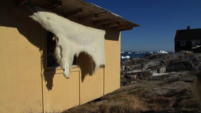 polar bearskin drying in the arctic sun,inuit house in the background