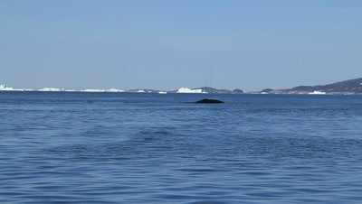 bowhead whale traveling to northern habitats
