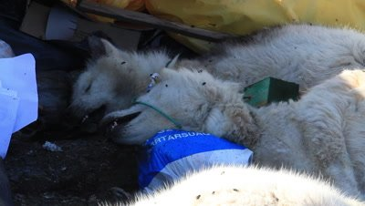 killed sledge dogs at the dumpster,the dogs are not used,the global warming has made the ice on the sea disappear