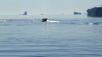 Group of bowhead whales resting. The whales gather to travel north