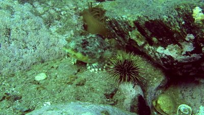 shorthorn scukpin hiding on sea bed behind sea urchin