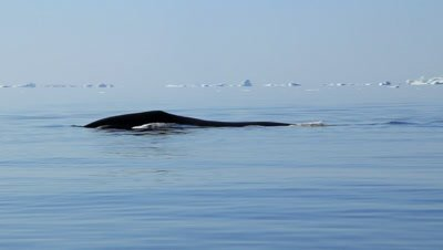 Bowhead whale swimming and diving