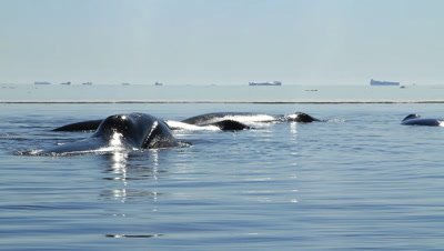 Big group of bowhead whales resting,travelling north to Alaska for the summer