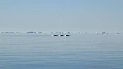 Distant bowhead whale resting at wery calm arctic ocean