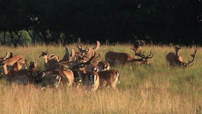 Hird of male fallow deer in the early morning light