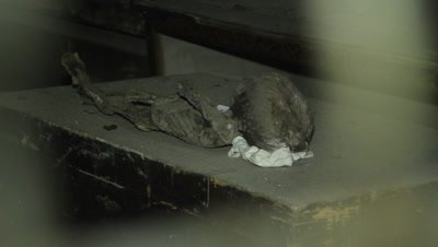 Mummified young child lying on a coffin in the caputine catacomb