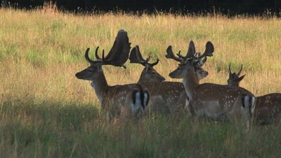 male fallow deer in the early morning. feeding on grass