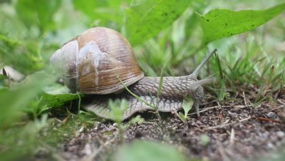 burgundy snail,helix pomatia,feeding on a green plant