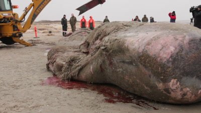 The head of a stranded cadaver of a spermwhale is cut into pieces using a backhoe loader
