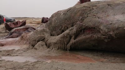 A stranded cadaver of a spermwhale is cut into pieces using a backhoe loader