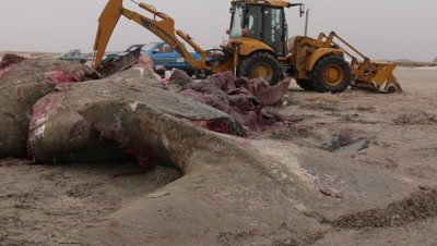 The tail part of a stranded cadaver of a spermwhale is cut into pieces using a backhoe loader