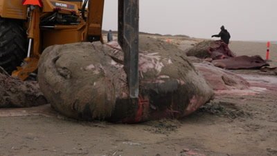 Splitting the front part of the head of a stranded cadaver of a spermwhale is cut into pieces using a backhoe loader