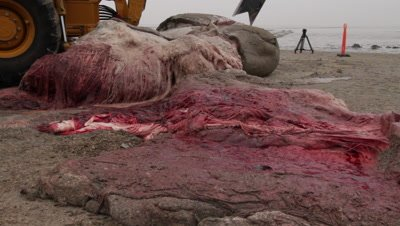 Tissue,tendons and blood vessels of a stranded cadaver of a spermwhale is cut into pieces using a backhoe loader