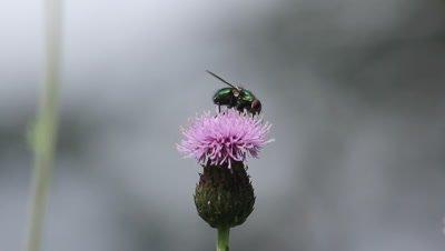 green blowfly feeding on a thistle flower