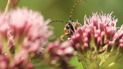 Spotted longhorn beetle in a flover feeding
