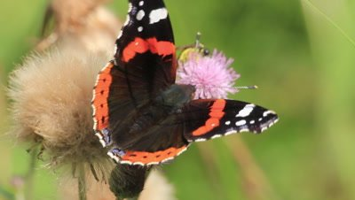 red admiral butterfly and fly on a thistle flower feeding