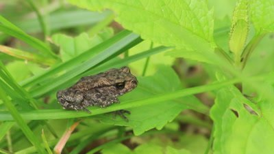 young common toad on a leaf