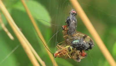 common scorpion flies mating.The male fly present female dead insects for them to eat,mating with them while they do so.