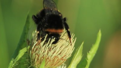 a bumblebee feeding on a thistle flower