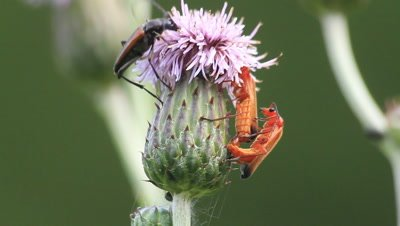 Common red soldier beetles maiting,and longhorn flower beetle