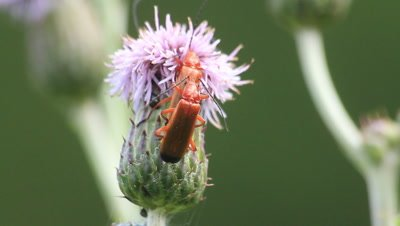 Common red soldier beetles maiting,feeding on thistle flower