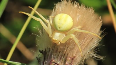 a cucumber green spider hunting in the top of a thistle plant