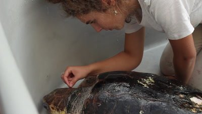 animalkeeper cleaning the carapace of a loggerhead turtle resting in a tank after surgery