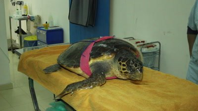 flipper amputated,tuna hook removed,and feeding tube plased in the loggerhead turtle,the turtle will now recover for several month in the rescue center