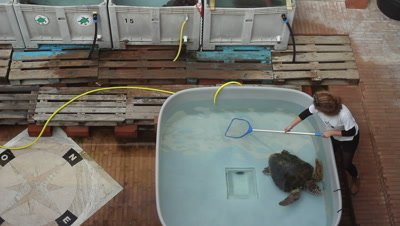 animal keeper cleaning rehabilitation tank at a turtle rescue center