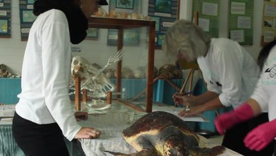 loggerhead turtle killed by tuna hooks,washed ashore ,taken to the research center for autopsy