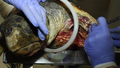 vet inspecting the stitches and the tissue after the operation wound on a sea turtle