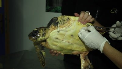 a small loggerhead sea turtle that lost a flipper at a tuna longline is being examined at the turtle rescue center