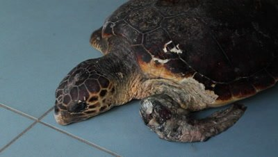 Loggerhead sea turtle injured by a tuna-fishing line,flipper is going to be amputated