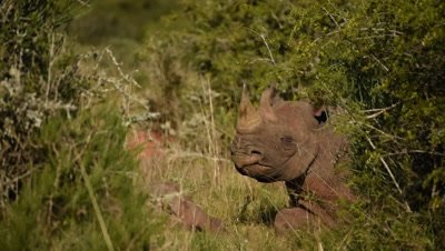 Black Rhino mother and Calf lying in thickets