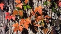 Colorful Fall Leaves Of Poison Oak On Tree Trunk