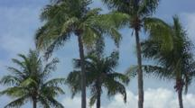 Group Of Palm Trees In Light Breeze