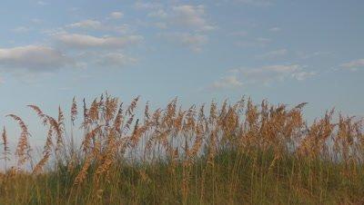 4k 10min sea oats against blue sky
