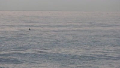 grey early morning ocean with dolphins