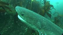 Seven Gill Shark In Kelp Forest