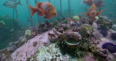 Red Roman (Chrysoblephus laticeps) in Kelp