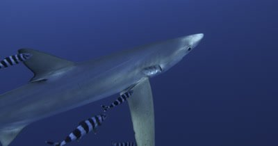 Blue Shark and pilot fish in open water