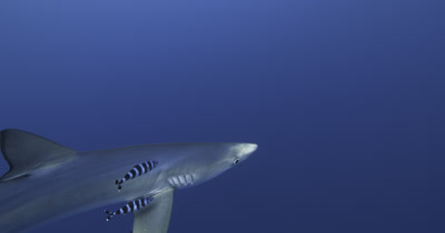 Blue Shark with pilot fish in open water