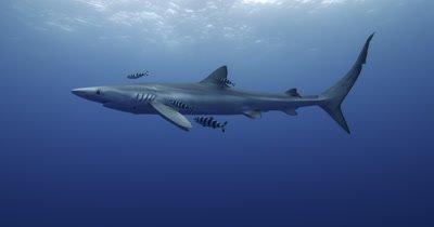 Blue Shark in open water