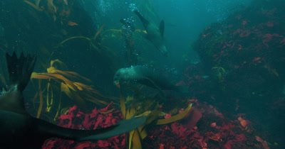 Cape Fur Seals play with kelp