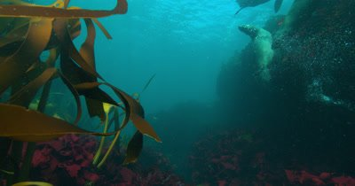 Cape Fur Seals in Kelp
