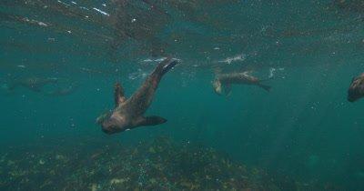 Cape Fur Seals at surface