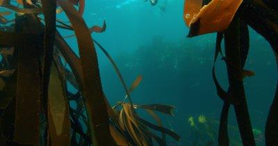 Cape Fur Seals in Kelp
